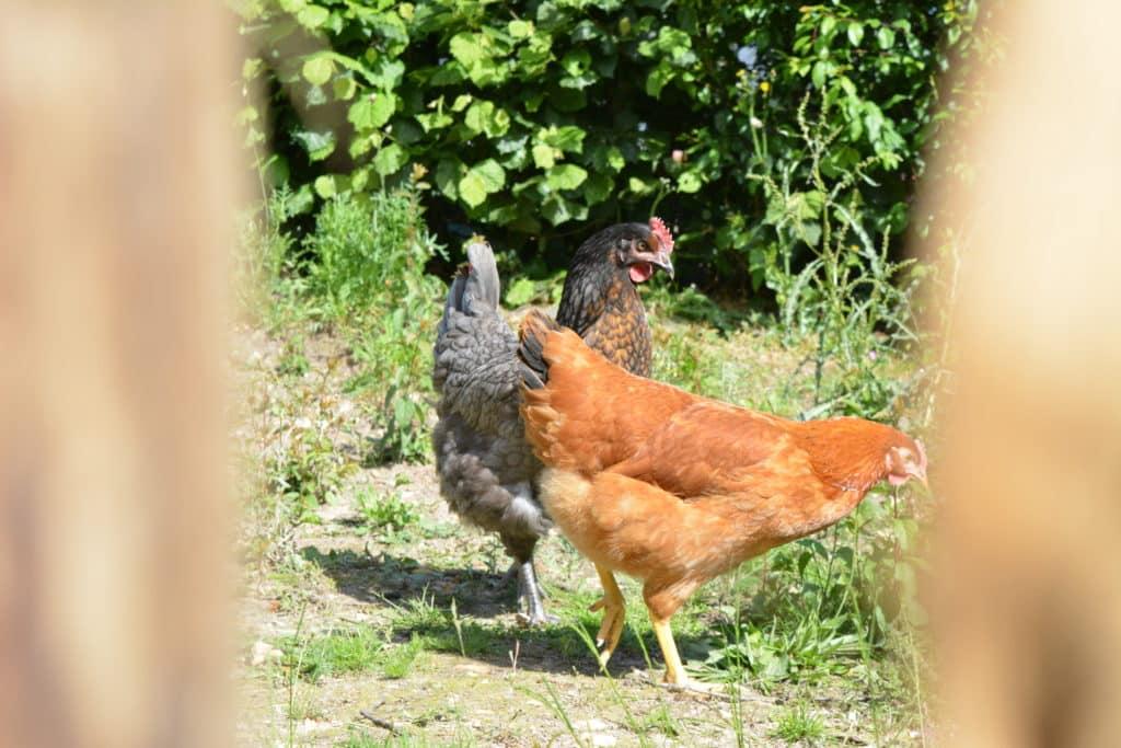 poules-poulailler-arbre-ombre-espaces-verts