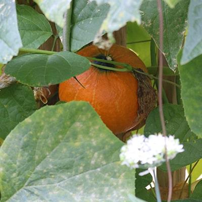 citrouille-potager