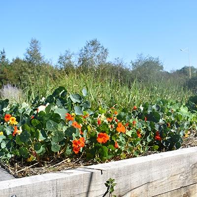 fleurs-potager-bonnaire